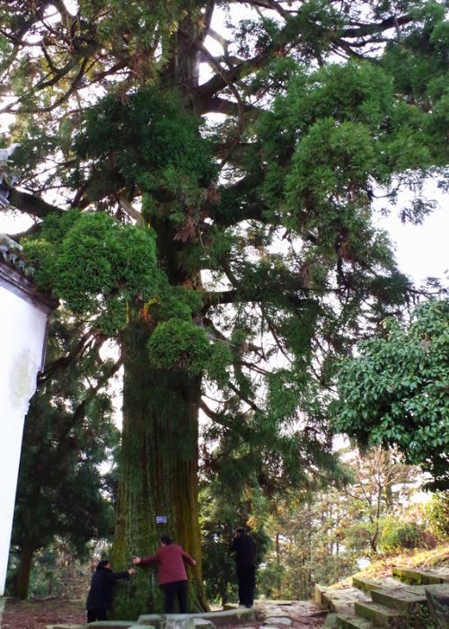 寺外700余岁的柳杉