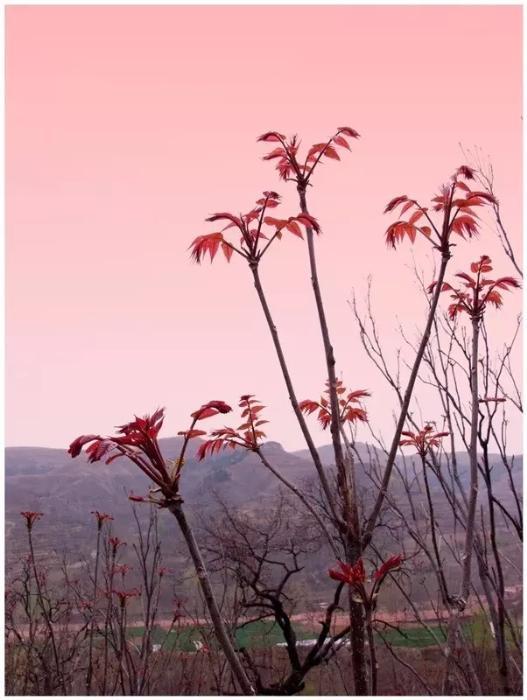 夕阳下的香椿
