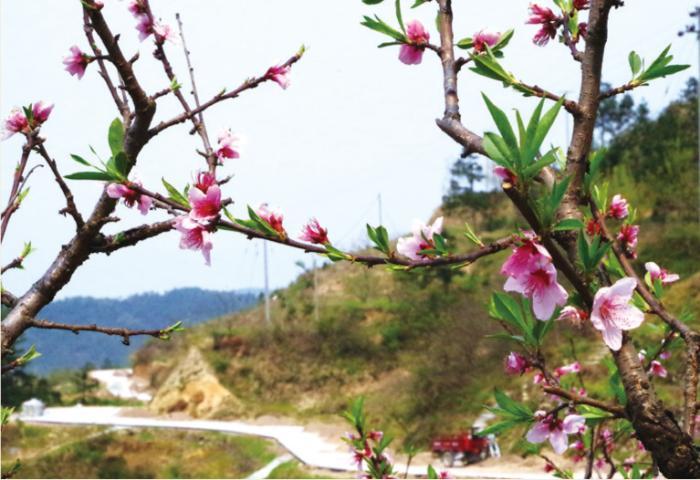 园里桃花开得正艳