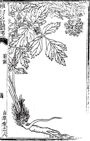 《植物名实图考》所绘前胡