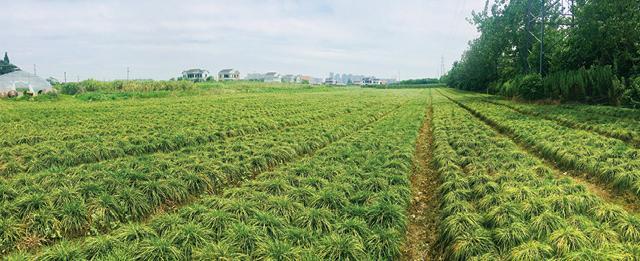 慈溪麦冬种植基地