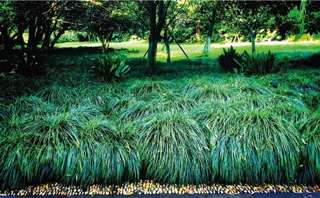 作为园林植物的麦冬