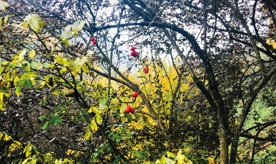 """山茱萸:山谷里的""""红玛瑙"""""""