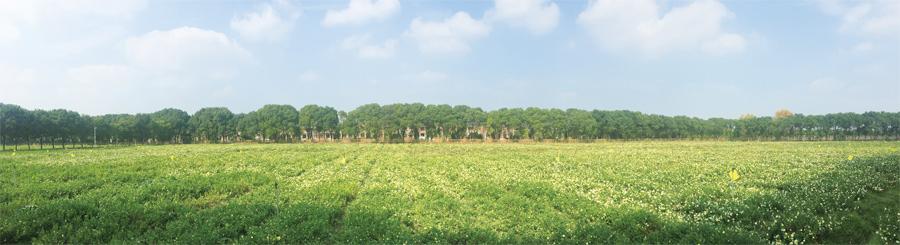 中国杭白菊之乡