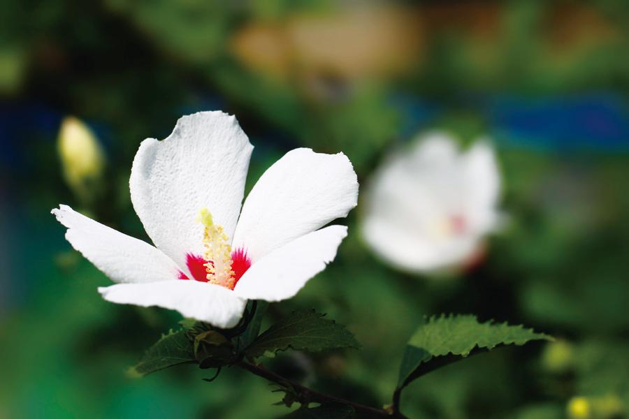 """夏之""""舜华""""  ——木槿花的故事"""