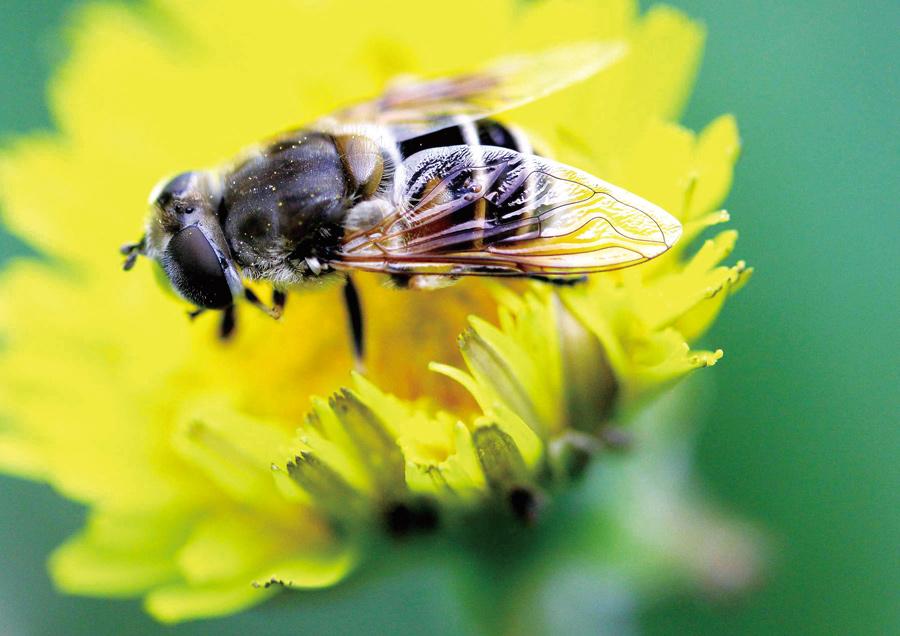 顾氏蜂疗:小蜜蜂大用处