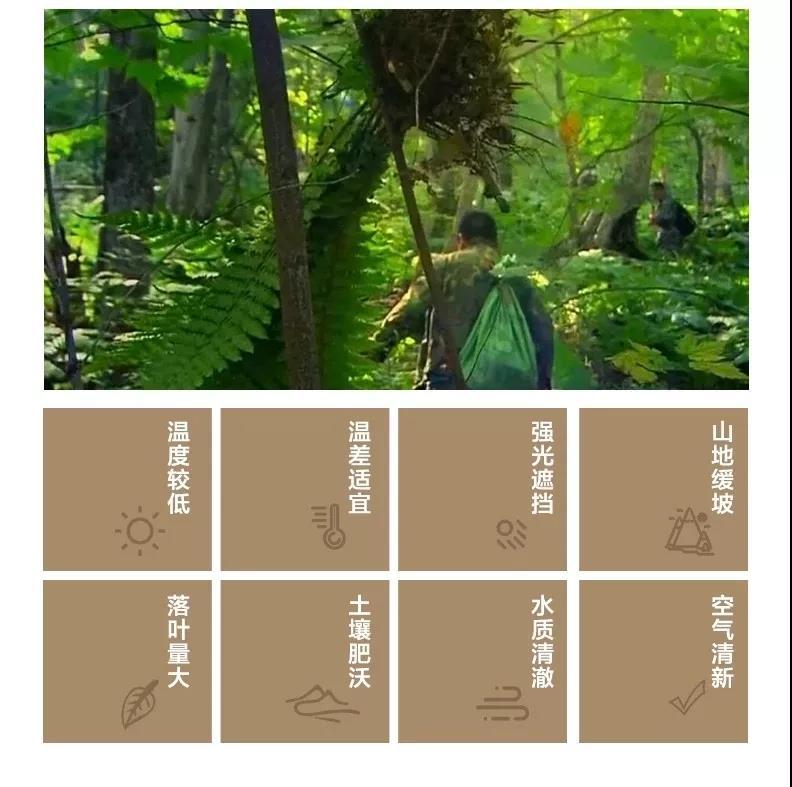 野山参生长环境2.jpg